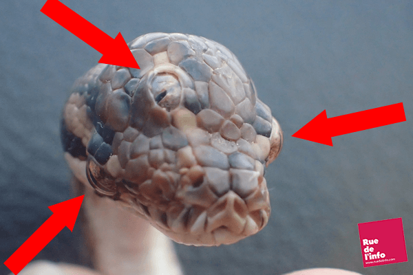 Serpent à 3 yeux - Rue de l'info